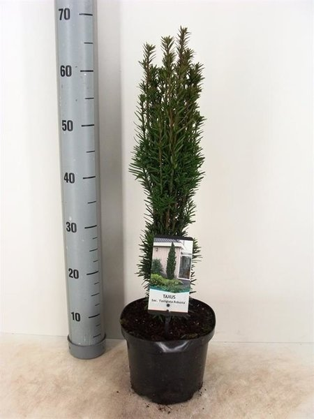 Taxus baccata Fastigiata Robusta - totale hoogte 60-80 cm - pot 3 ltr
