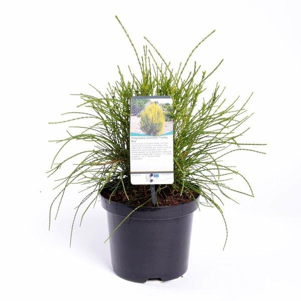 Platycladus orientalis Franky Boy - totale hoogte 40-50m - pot 3 ltr
