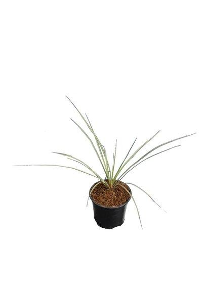 Yucca rostrata - totale hoogte 30-40 cm - pot Ø 13 cm