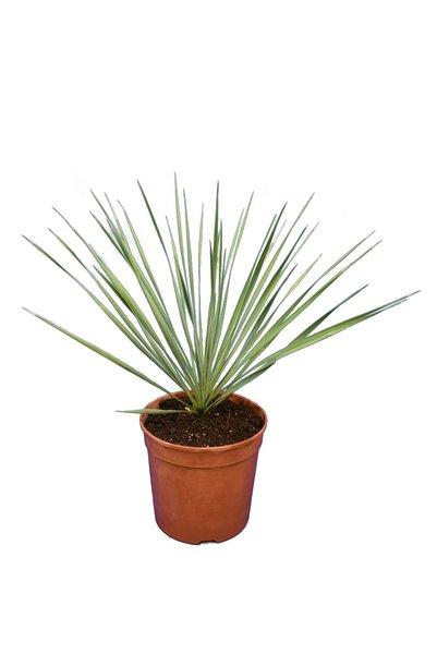 Yucca rostrata - totale hoogte 40-60 cm - pot Ø 20 cm