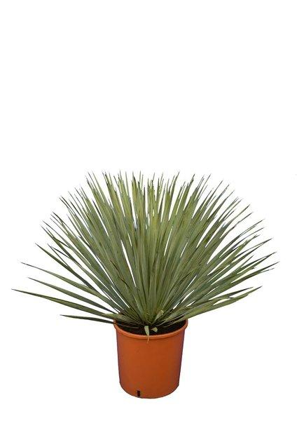 Yucca rostrata totale hoogte 70-90 cm pot Ø 32 cm
