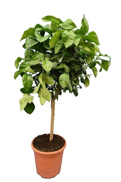 Citrus bergamia Fantastico - totale hoogte 90-110 - stamhoogte 30-40 - pot Ø 24 cm