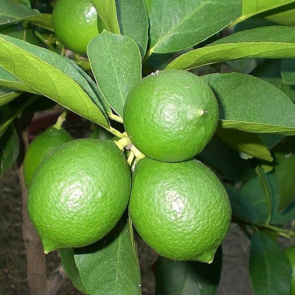Citrus latifolia - stam 30-40 cm - totale hoogte 70-100 cm - pot 22 cm
