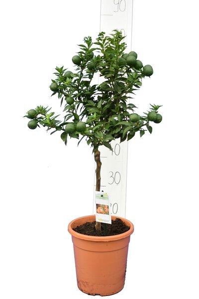 Citrus myrtifolia - stam 30-40 cm - totale hoogte 70-100 cm - pot 20 cm