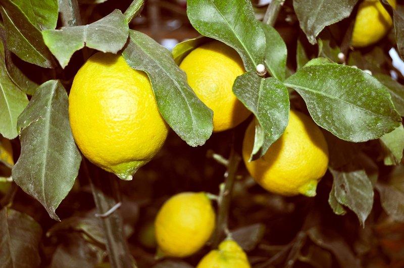 Citrus limon - stam 30-40 cm - totale hoogte 70-100 cm - pot Ø 22 cm