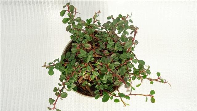 Cotoneaster dammeri Frieders Evergreen - pot Ø 11 cm