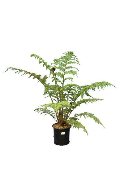 Cyathea cooperi - pot Ø 22 cm