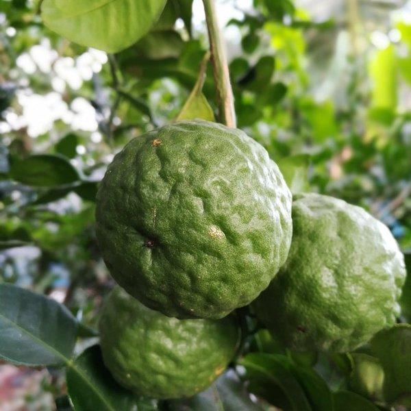 Citrus hystrix - totale hoogte 50+ cm - pot 14 x 14 cm