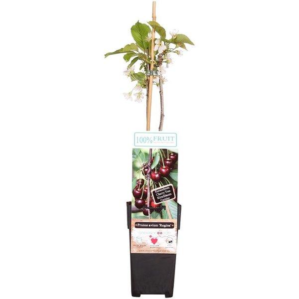 Prunus avium Regina - pot 2 ltr