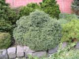 Picea glauca Echiniformis 3 ltr_