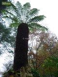 Dicksonia antarctica stam 50-60 cm [pallet]_