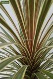 Cordyline australis Torbay Dazzler pot Ø 22 cm_