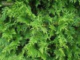 Thuja occidentalis Brabant (POTPLANT) - totale hoogte 80-100 cm - pot 5 ltr_