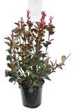 Photinia fraseri Red Robin - totale hoogte 50-70 cm - pot Ø 18 cm_