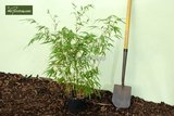 Fargesia rufa - totale hoogte 60+ cm - pot 5 ltr_