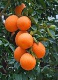 Citrus sinensis - pot 2 ltr_