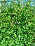 Fargesia Winter Joy - totale hoogte 80-100 cm - pot 5 ltr_
