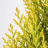 Platycladus orientalis Pyramidalis Aurea - totale hoogte 50-70 cm - pot 3 ltr_