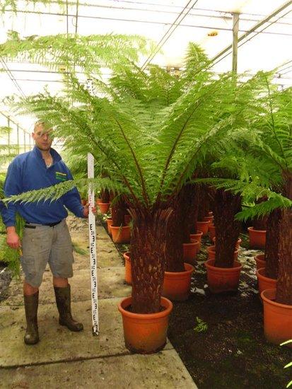 Dicksonia antarctica stam 120-130 cm