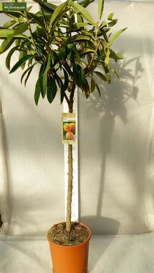 Eriobotrya Japonica stam 80-90 cm stamomtrek 8-12 cm