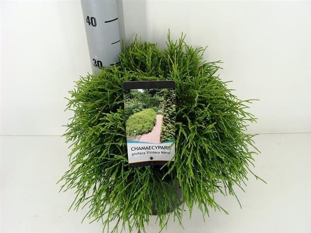 Chamaecyparis pisifera Filifera Nana 5 ltr