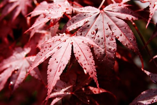 Acer palmatum Bloodgood 3 ltr