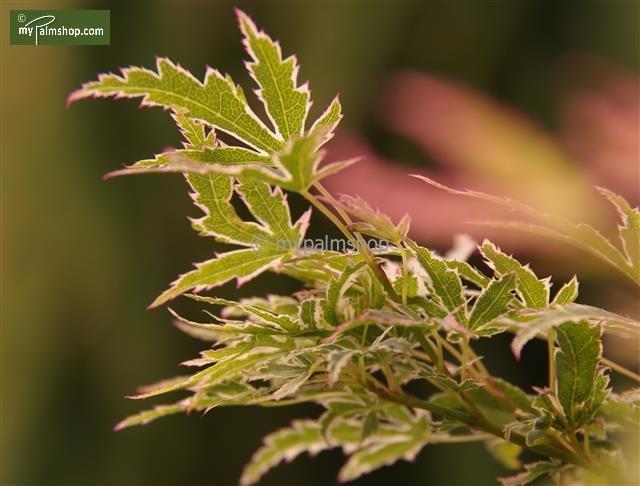 Acer palmatum Butterfly 3 ltr