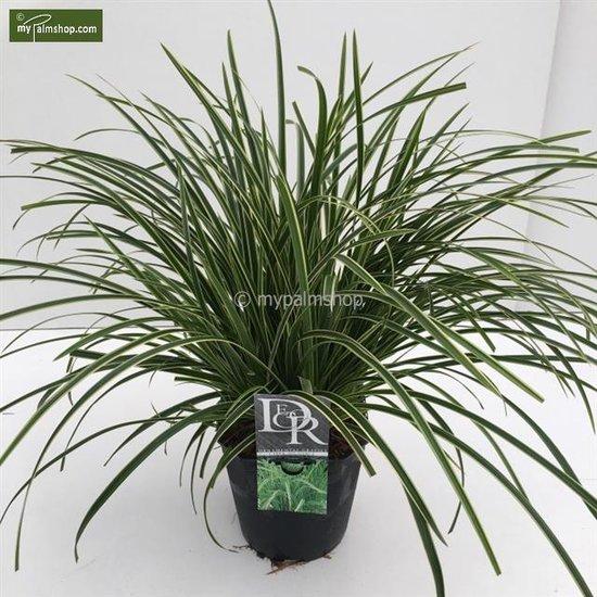 Carex morrowii Ice Dance 5 ltr