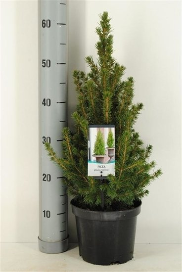 Kerstboom Picea glauca Conica - 3 ltr pot - 60-80 cm