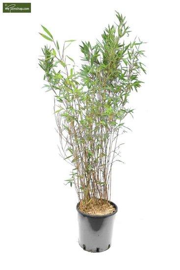 Fargesia Winter Joy 10 Ltr pot - totale hoogte 120-150 cm