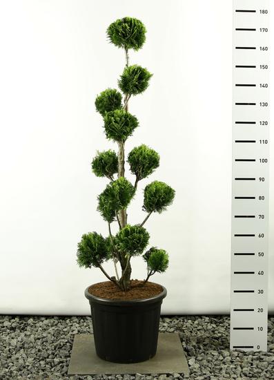 Chamaecyparis lawsonia Stardust multibol 170-200 cm