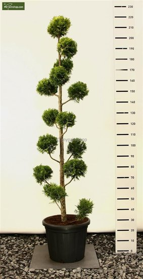 Chamaecyparis lawsoniana 'Ivonne' MULTIBOL - 200+ cm