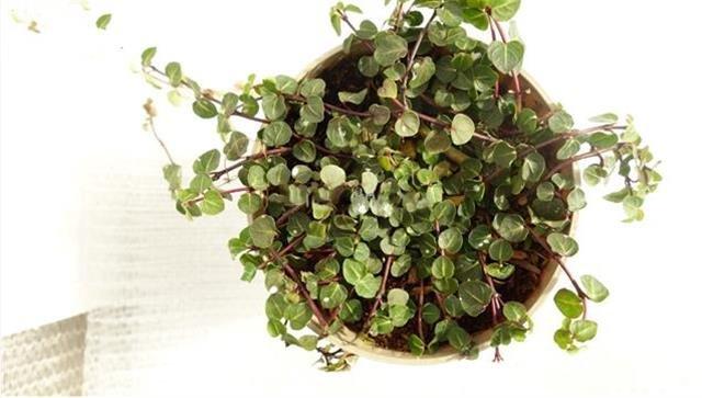 Euonymus fortunei Minimus