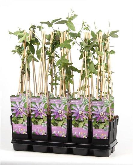 Passiflora caerulea Lavender Lady 2ltr.