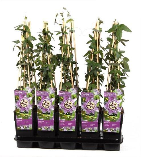 Passiflora caerulea Purple Haze 2 ltr