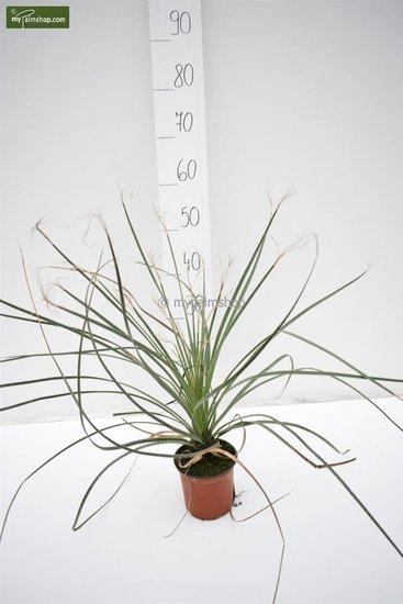 Dasylirion lucidum