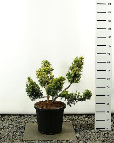 Taxus baccata Summgergold Multiplateau 80-100 cm