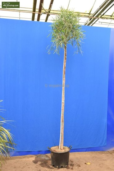 Acacia dealbata totale hoogte 200+ cm