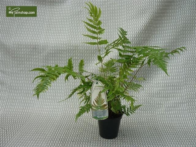Dryopteris lepidopoda 0.7 ltr