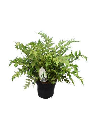 Cyrtomium fortunei clivicola 5 ltr