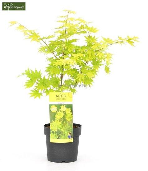Acer shirasawanum Jordan 3 ltr