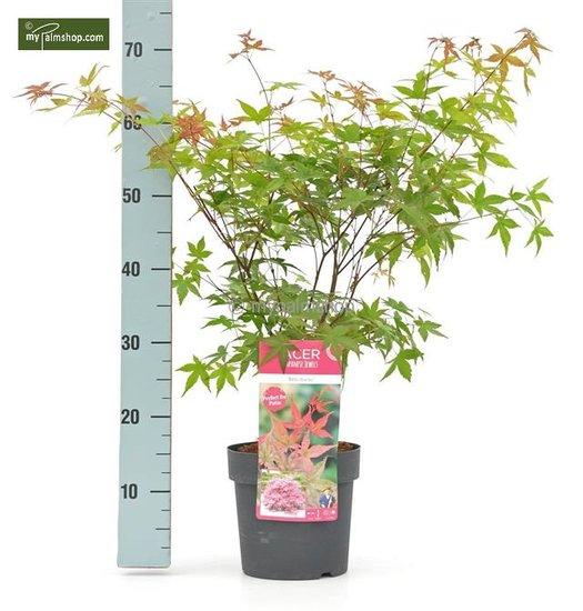 Acer palmatum Beni-maiko 3 ltr