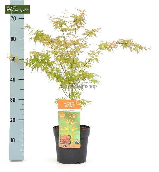 Acer palmatum Wilson's Pink Dwarf 3 ltr