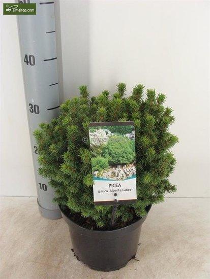 Picea glauca Alberta Globe 3 ltr