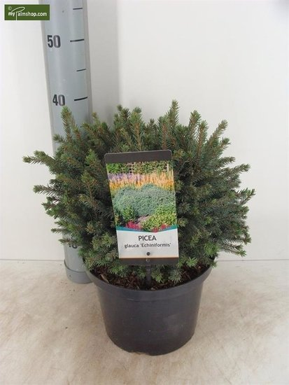 Picea glauca Echiniformis 3 ltr
