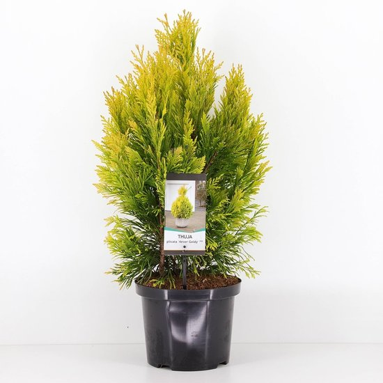 Thuja Plicata '4ever Goldy' - pot 5 Ltr