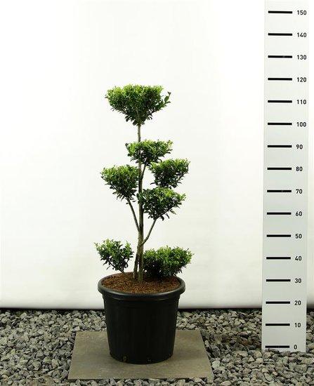 Ilex maximowicziana kanehirae multiplateau extra 100-125 cm