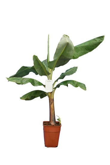 Musa acuminata Dwarf Cavendish P20