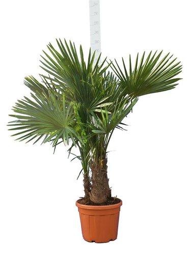 Trachycarpus fortunei Multitrunk pot 35 ltr