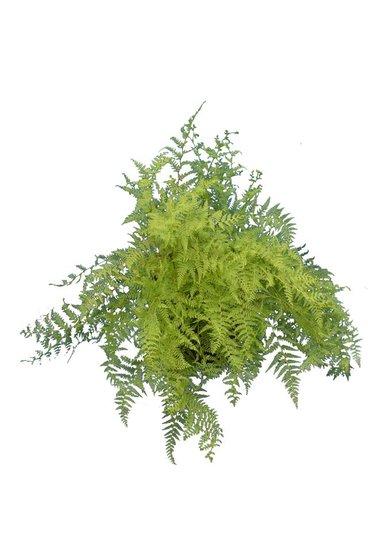 Paesia scaberula pot Ø 32 cm
